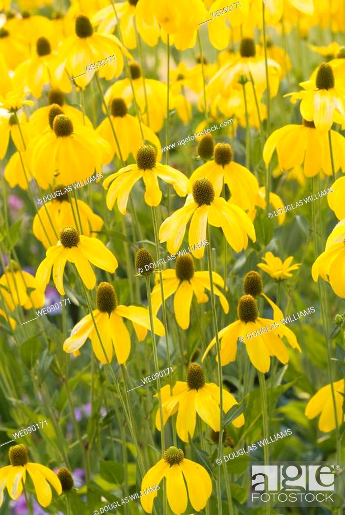 Stock Photo: Brown-eyed Susan flowers.