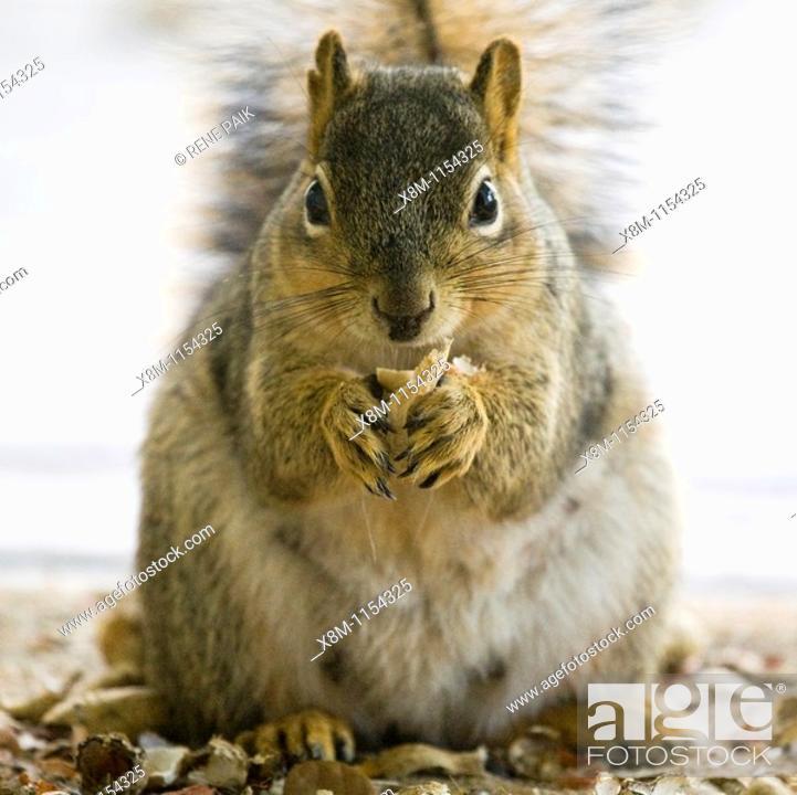 Stock Photo: Nursing Fox Tree Squirrel (Sciurus niger) closeup.