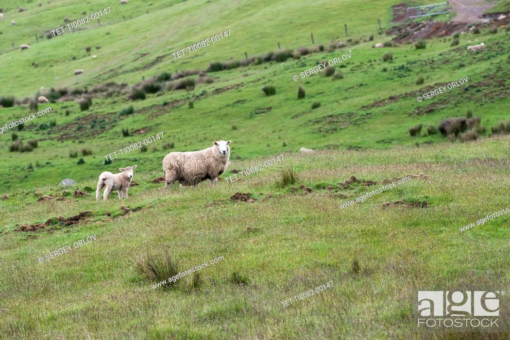 Stock Photo: Lamb and ewe in field in Te Anau Downs, New Zealand.