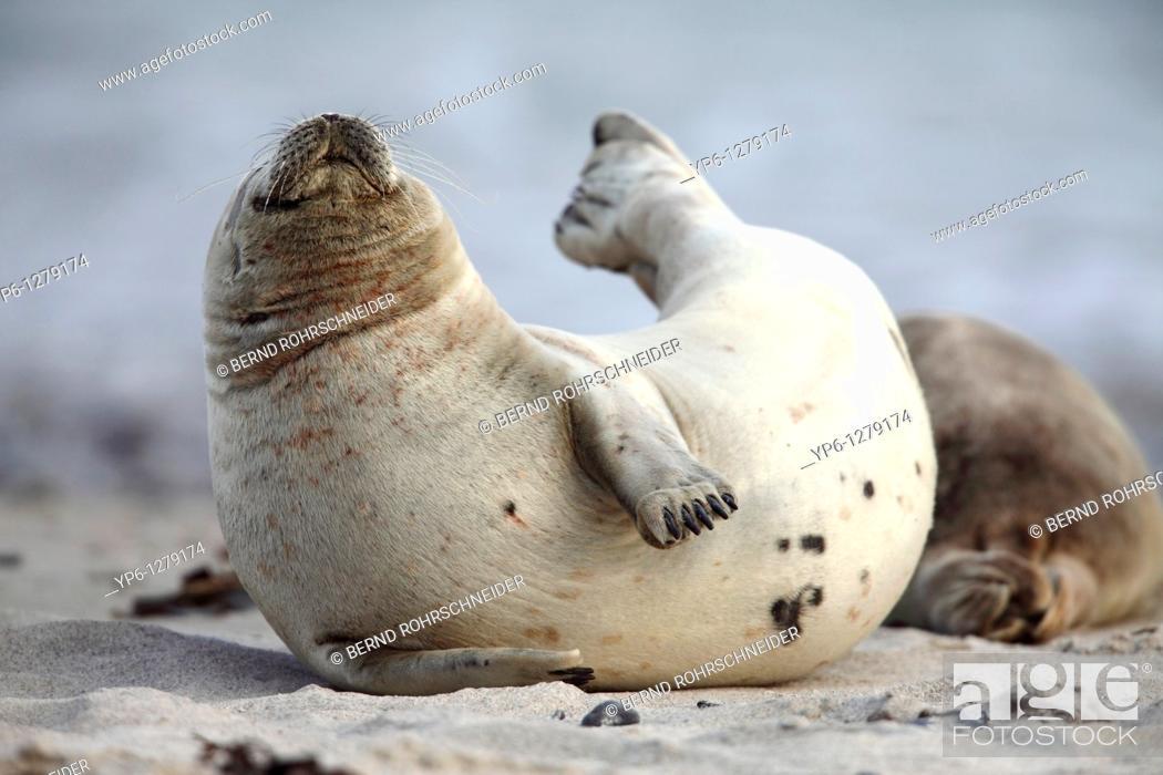 Stock Photo: Common Seal, Phoca vitulina, lying on beach and stretching, Heligoland, Germany.