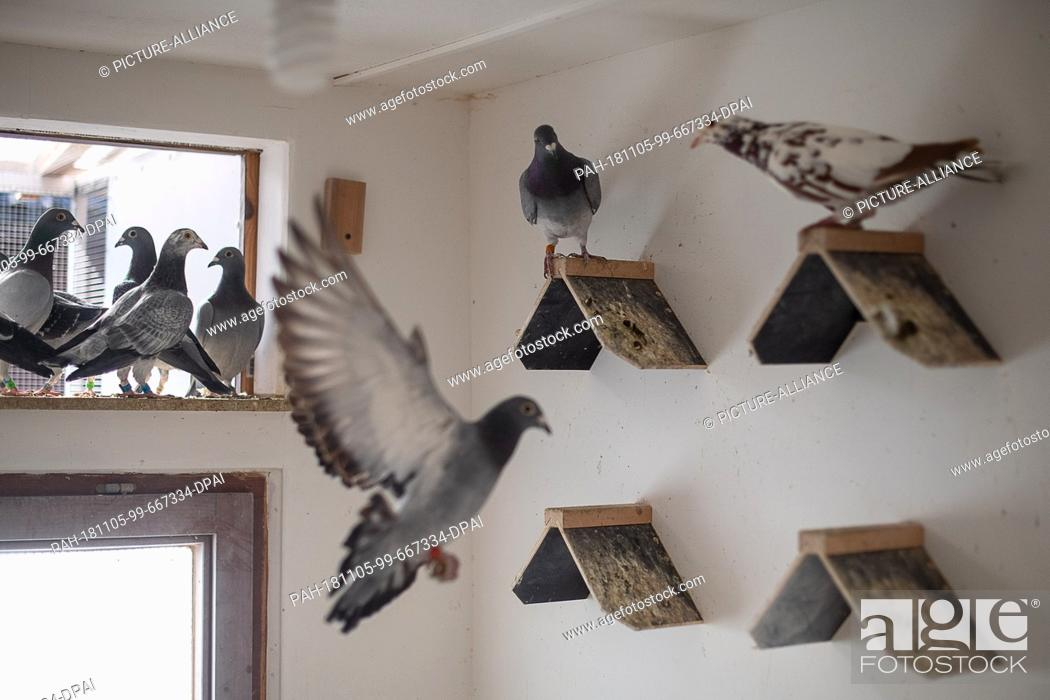 Stock Photo: 02 November 2018, Baden-Wuerttemberg, Stuttgart: Pigeons fly through a stable in a carrier pigeon club. At the beginning of December.