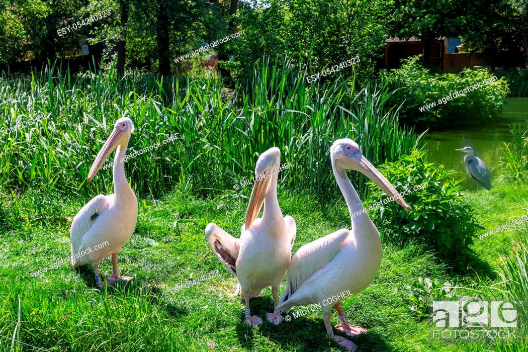Stock Photo: Eastern White Pelicans, Pelecanus onocrotalus, at a zoo. Also known as rosy, great white or white pelican.