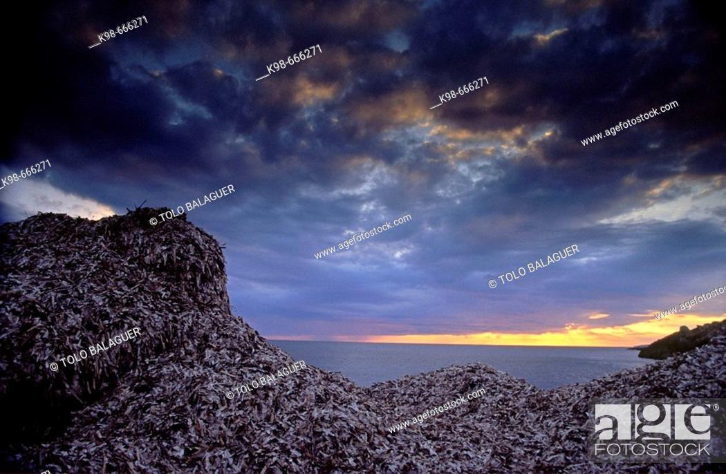 Stock Photo: Sea grass (Posidonia sp.) on beach, S'Estalella, Llucmajor. Majorca, Balearic Islands, Spain.