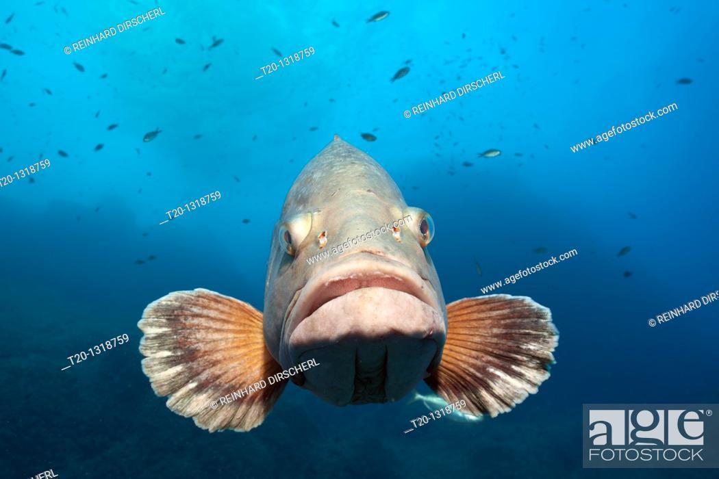 Stock Photo: Dusky Grouper, Epinephelus marginatus, Cap de Creus, Costa Brava, Spain.