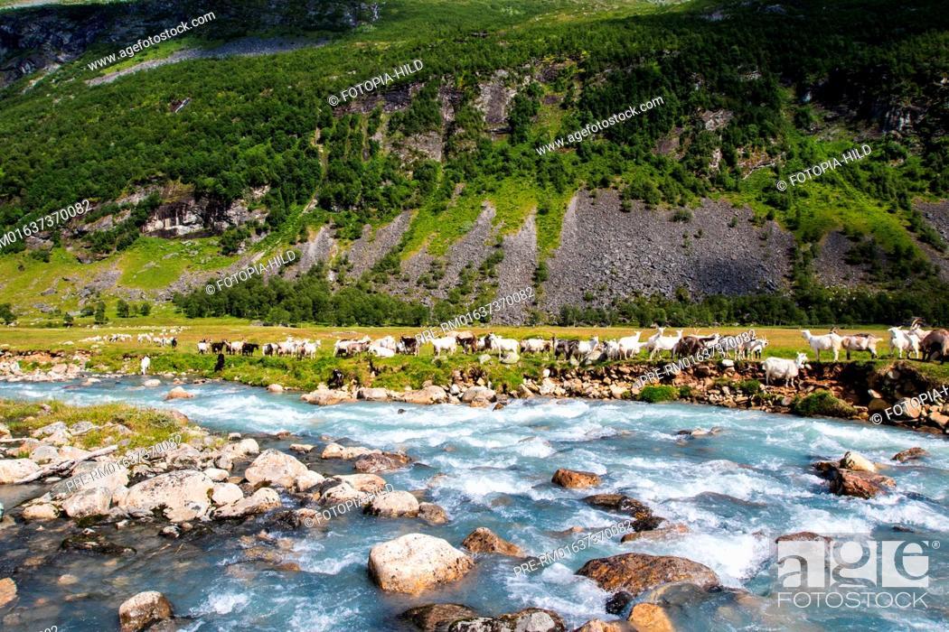 Imagen: Flock of goats at Herdalssetra mountain summer farm, Møre og Romsdal, Norway / Ziegenherde auf der Alm Herdalssetra, Møre og Romsdal, Norwegen.
