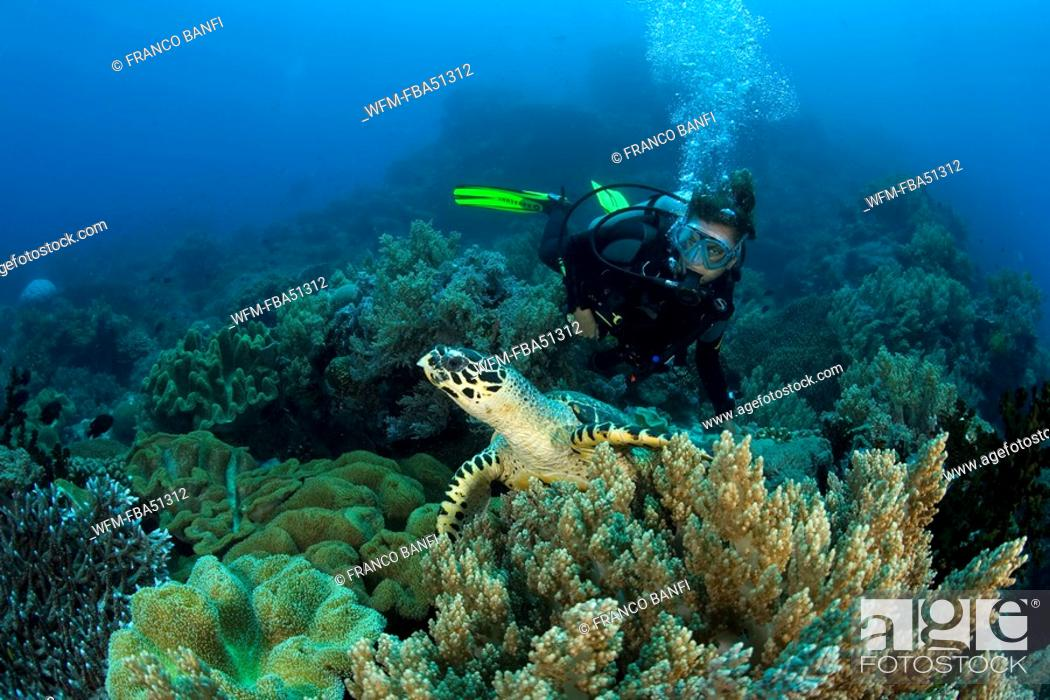 Stock Photo: scuba diver and hawksbill turtle, Eretmochelys imbricata, Dumaguete, Apo Island, Negros, Philippines.
