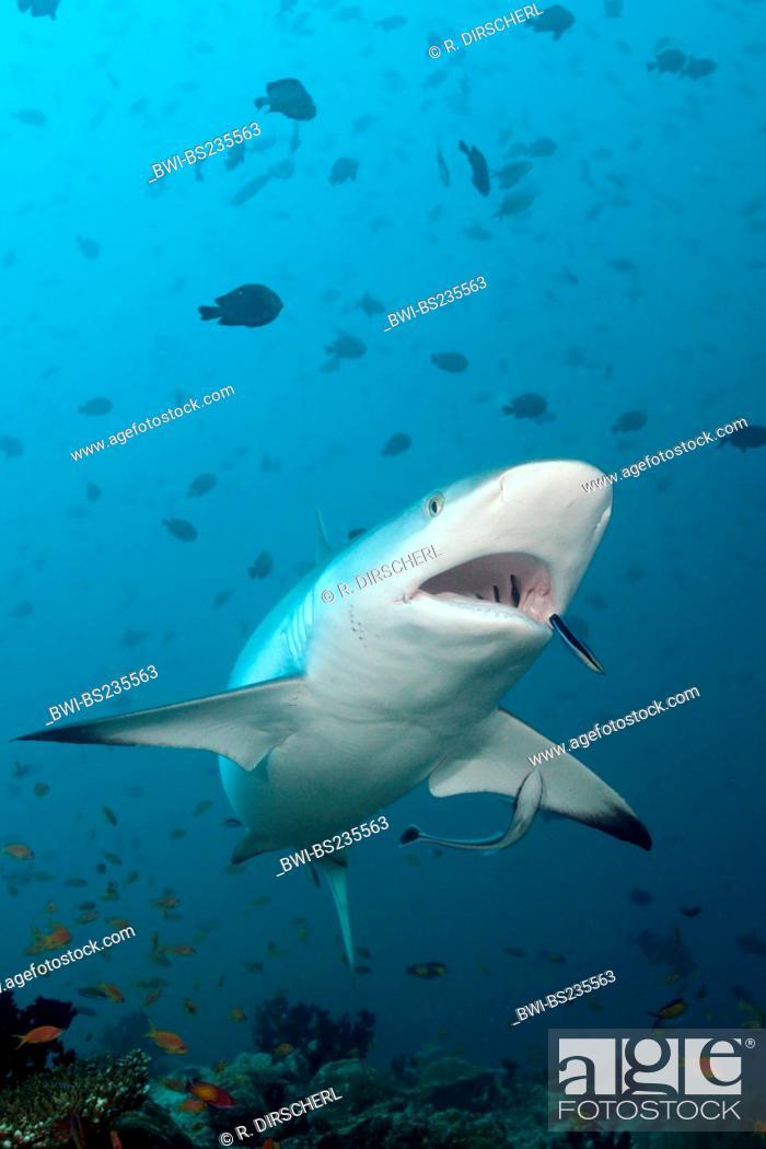Stock Photo: gray reef shark (Carcharhinus amblyrhynchos, Carcharhinus wheeleri), with Cleaner Wrasse, Labroides dimidiatus, Maldives, North Ari Atoll, Hafsaa Thila.