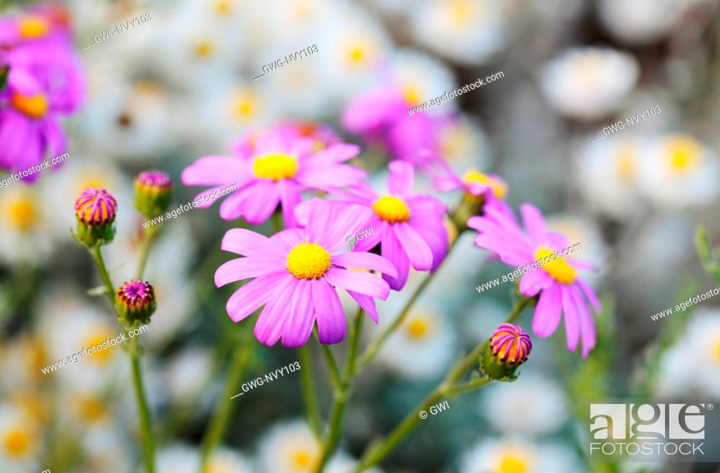 Stock Photo: SENECIO ELEGANS.