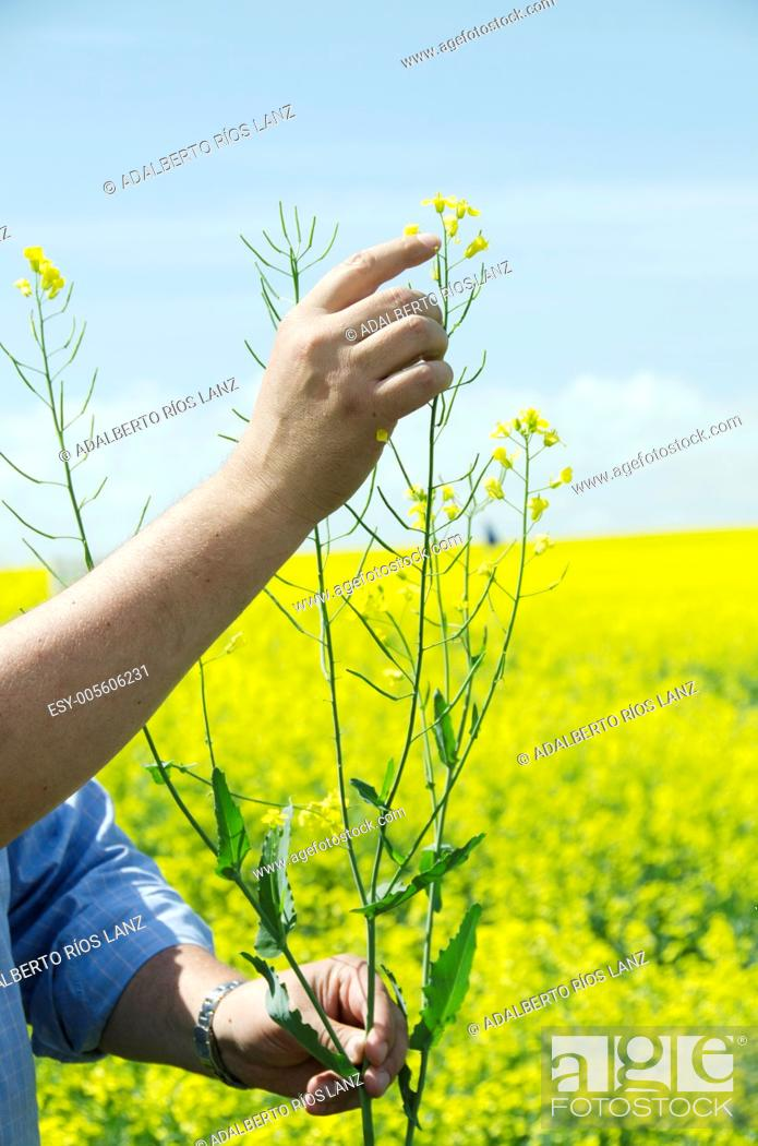 Stock Photo: A farmer holds a canola plant pointing at its flowers.