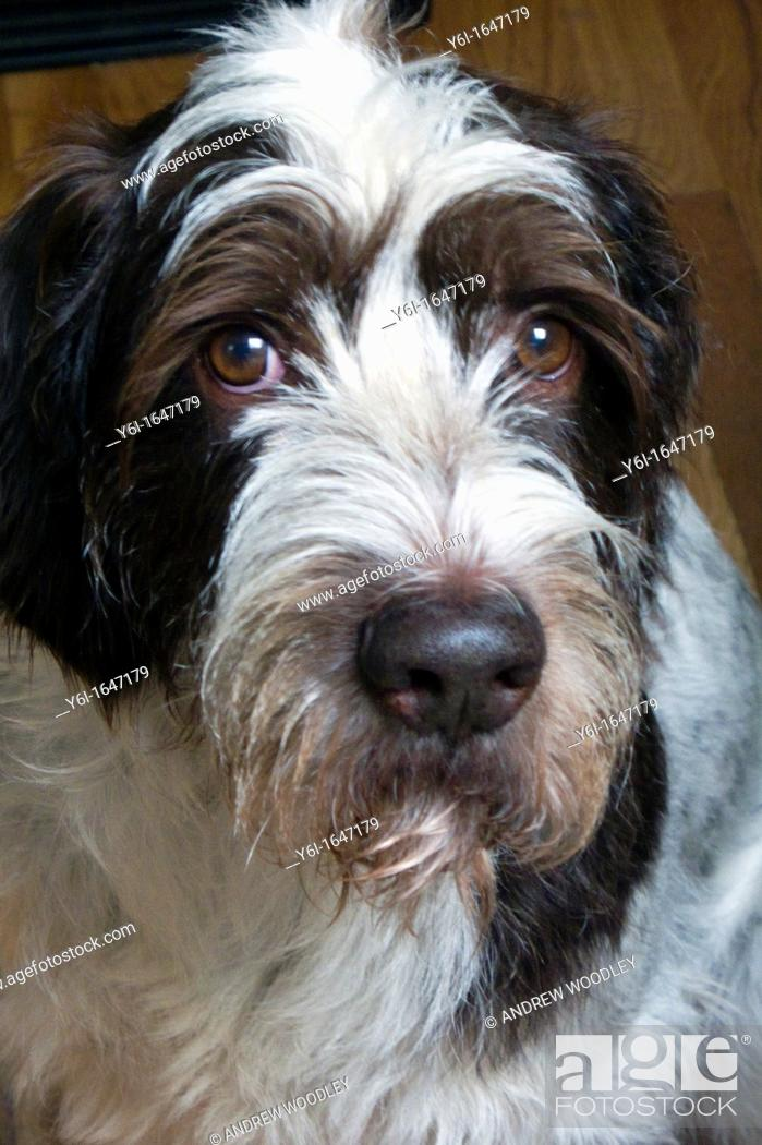 Stock Photo: Pet German Wirehaired Pointer dog.