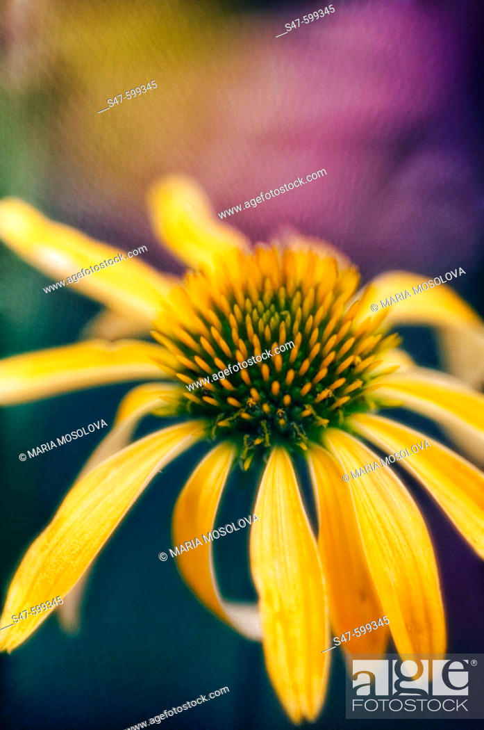 Stock Photo: Yellow Echinacea Flower. (Echinacea paradoxa). June 2006. Maryland, USA.