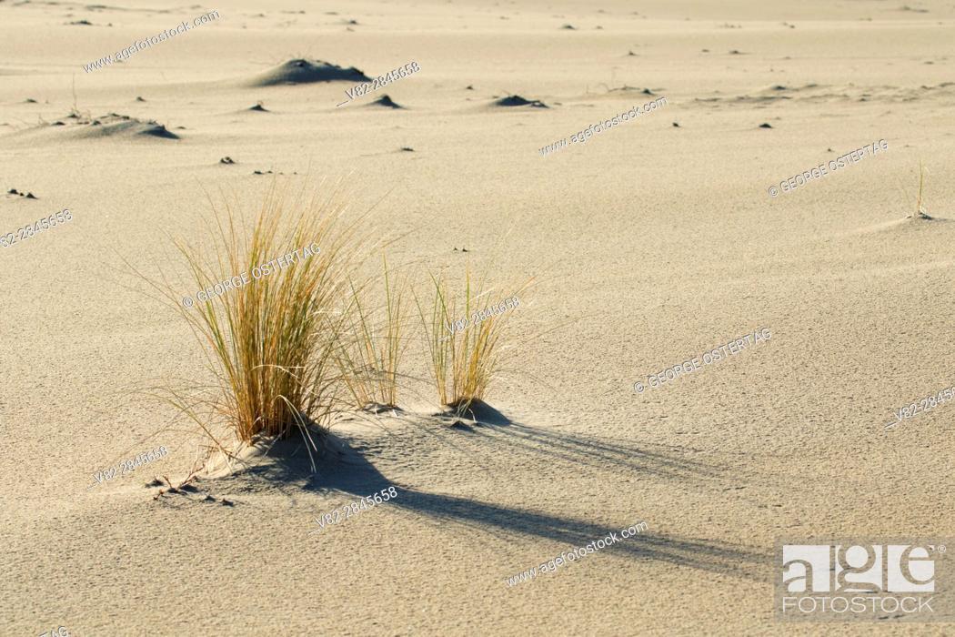 Photo de stock: Dune grass along Carter Dune Trail, Oregon Dunes National Recreation Area, Oregon.