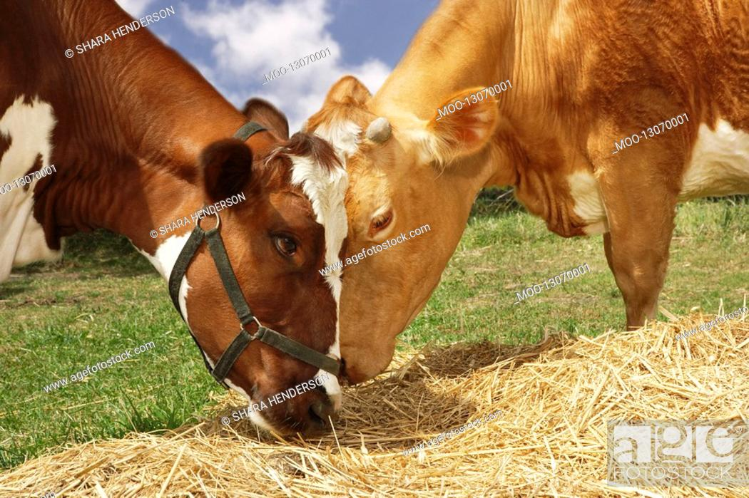 Stock Photo: Two brown cows eating hay in field close-up.