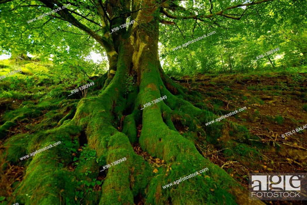Stock Photo: Hague, Fagus sylvatica, Sorogain, Grand tour 11, Navarra Pyrenees Mountains Spain.