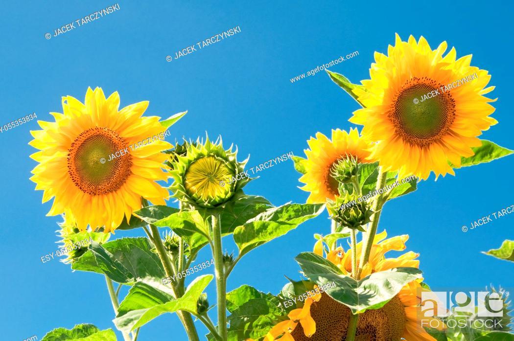 Stock Photo: sunflower on blue sky background.