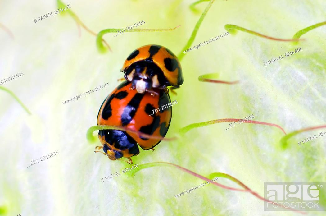 Stock Photo: Red and black lady bugs or lady birds mate on a green swanplant.