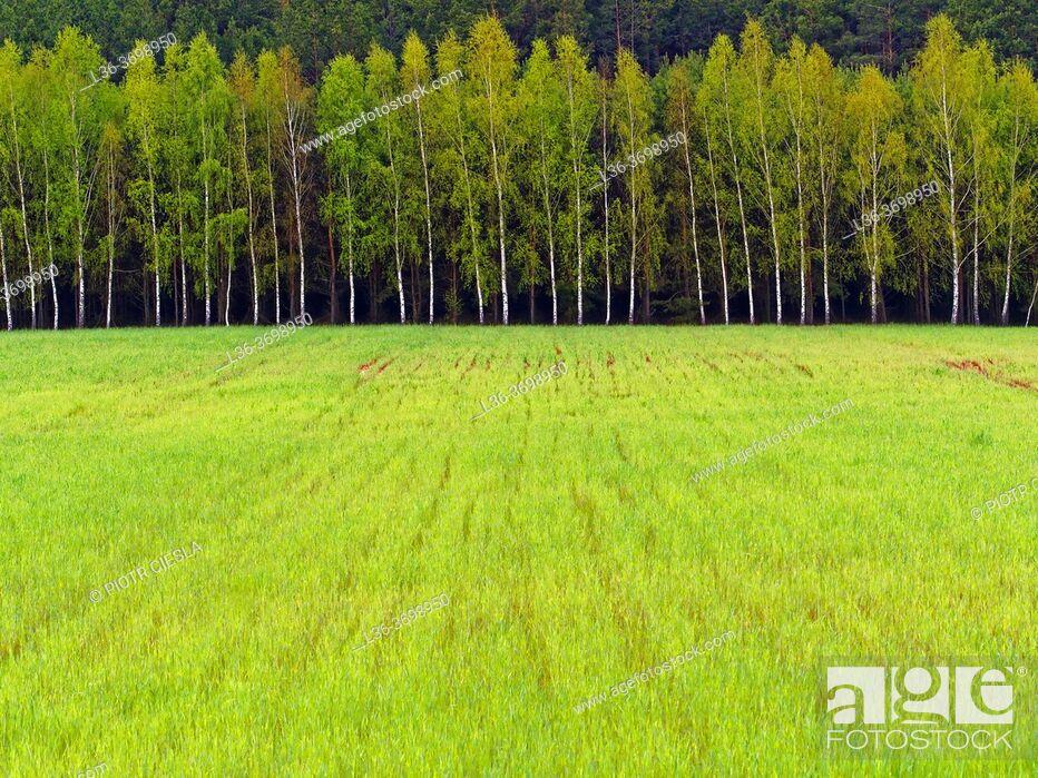 Photo de stock: Poland. Spring. Podlasie region. Row of birches with green field.