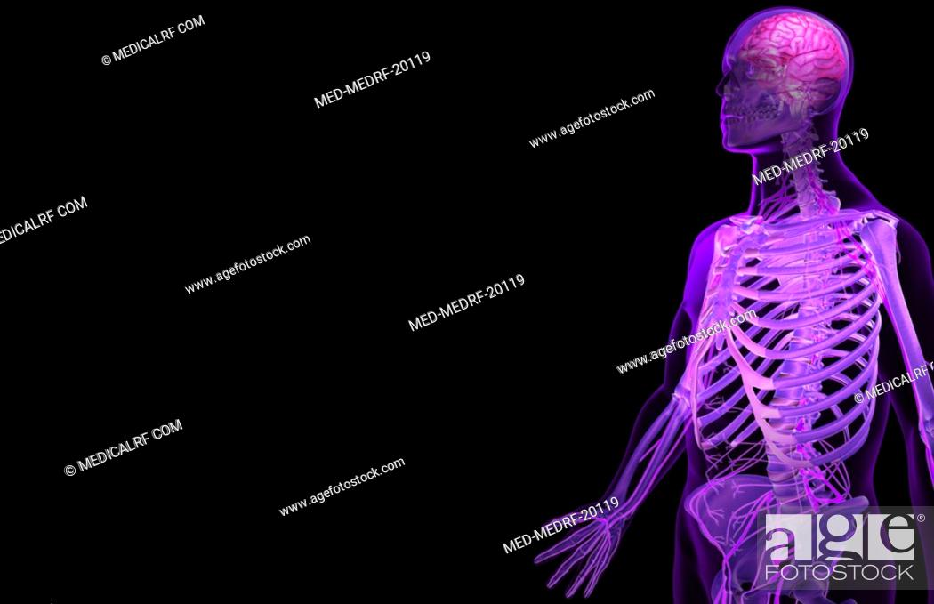 Stock Photo: The nerves of the upper body.