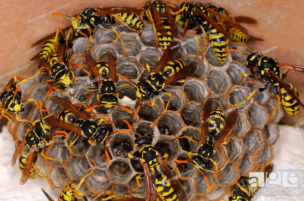 Stock Photo: Nest of Common wasp (Vespula vulgaris) Badajoz province. Extremadura. Spain.