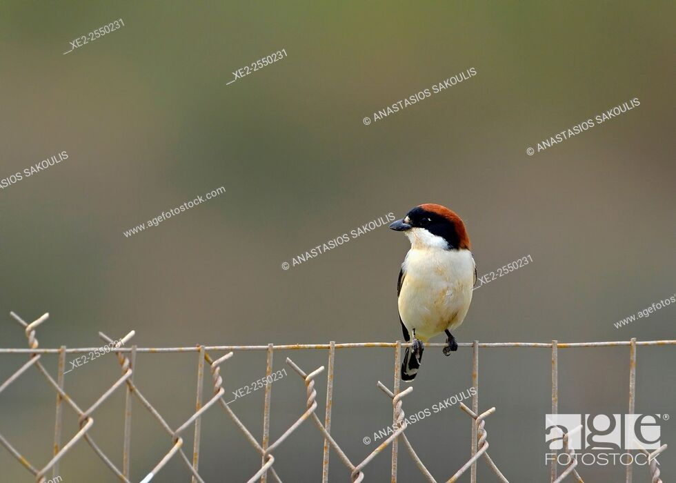 Stock Photo: Woodchat Shrike - Lanius senator, Crete.