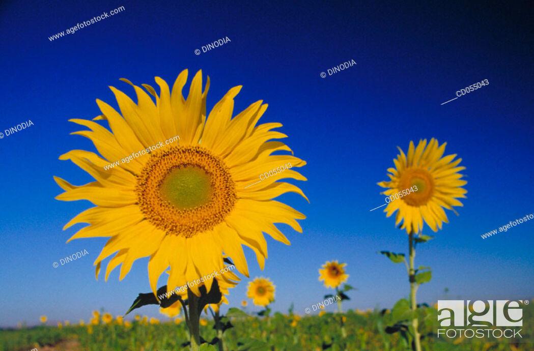 Photo de stock: Sunflowers.