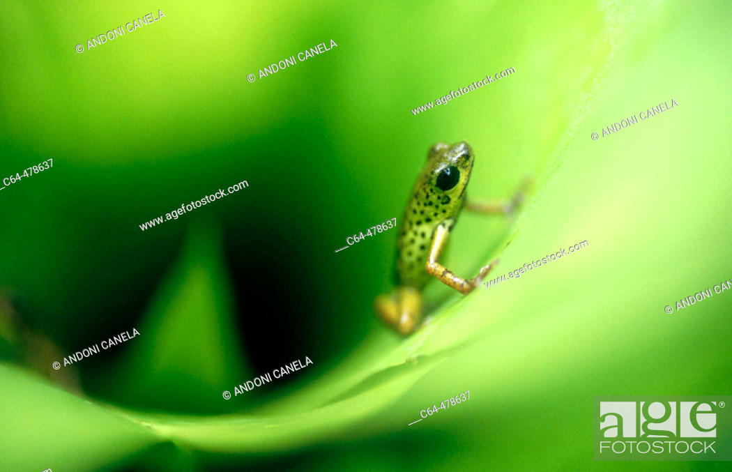 Stock Photo: Strawberry Poison Dart Frog (Dendrobates pumilio). Bocas del Toro. Panama.