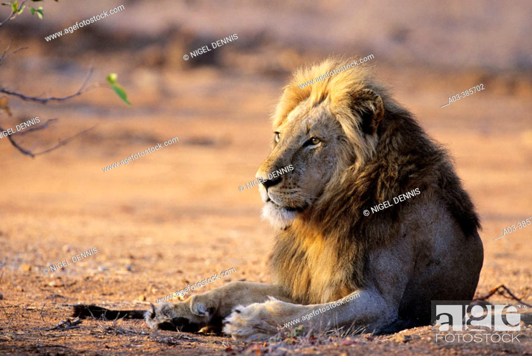 Stock Photo: Lion (Panthera leo). Kruger NP. South Africa.