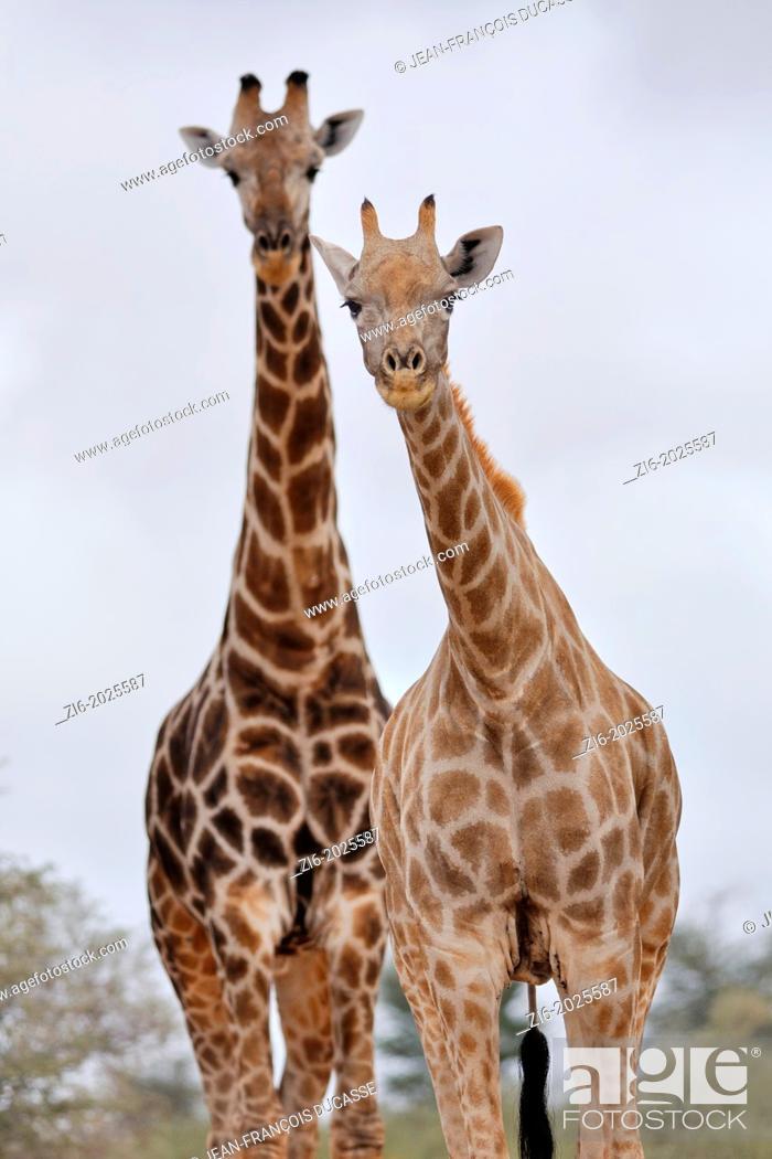 Stock Photo: Giraffes, Giraffa camelopardalis, Kgalagadi Transfrontier Park, Northern Cape, South Africa.