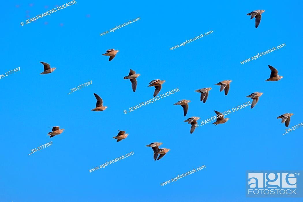 Stock Photo: Namaqua sandgrouses (Pterocles namaqua), flock of eighteen birds in flight, Etosha National Park, Namibia, Africa.