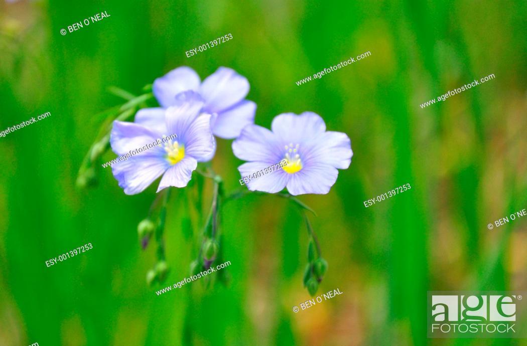 Stock Photo: Three Little Purple Flowers.