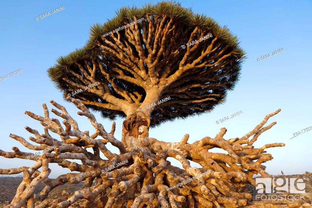 Stock Photo: Broken Dragon's Blood Tree Dracaena cinnabari, endemic to island, Diksam Plateau, central Socotra Island, listed as World Heritage by UNESCO, Aden Governorate.
