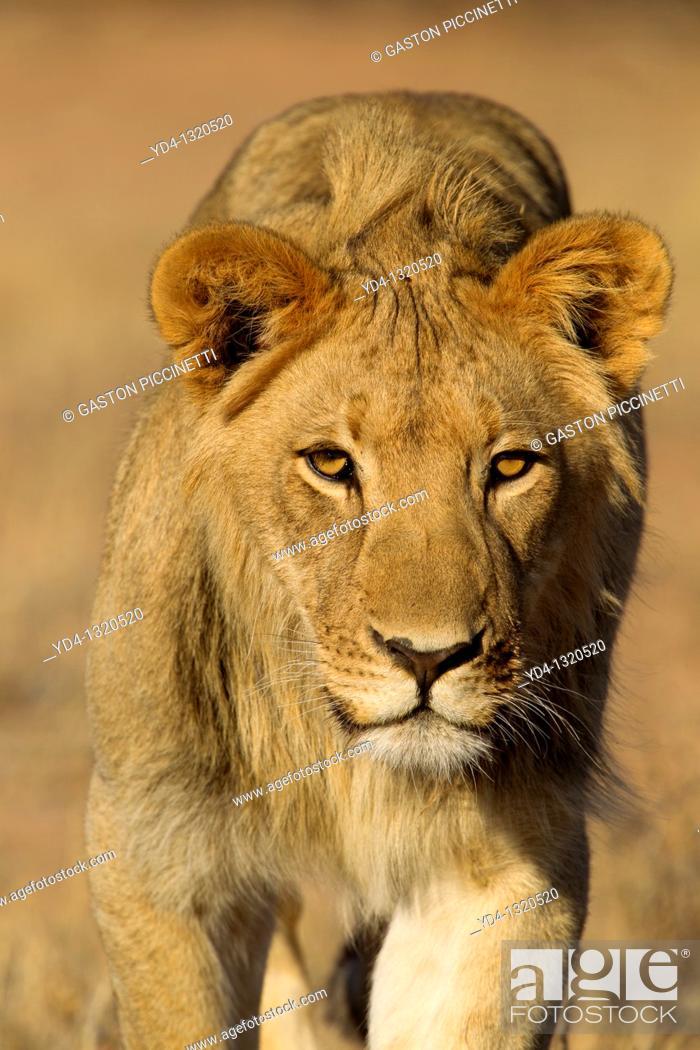 Stock Photo: African Lion Panthera leo - Young Males, Kgalagadi Transfrontier Park, Kalahari desert, South Africa.