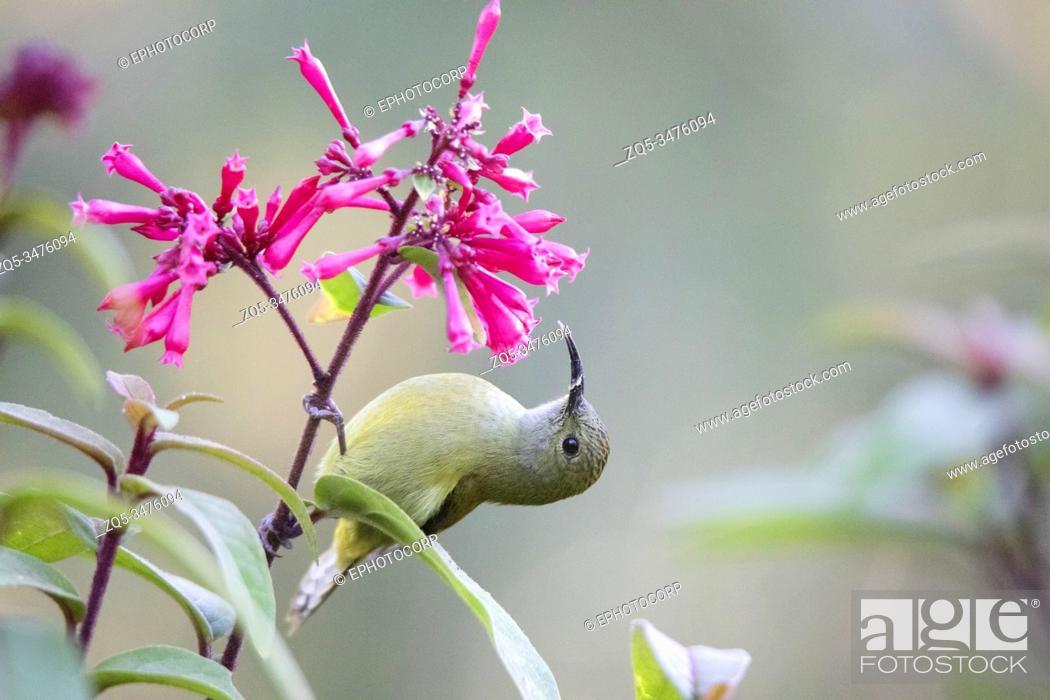 Stock Photo: Green-tailed Sunbird, Aethopyga nipalensis, Sikkim, India.