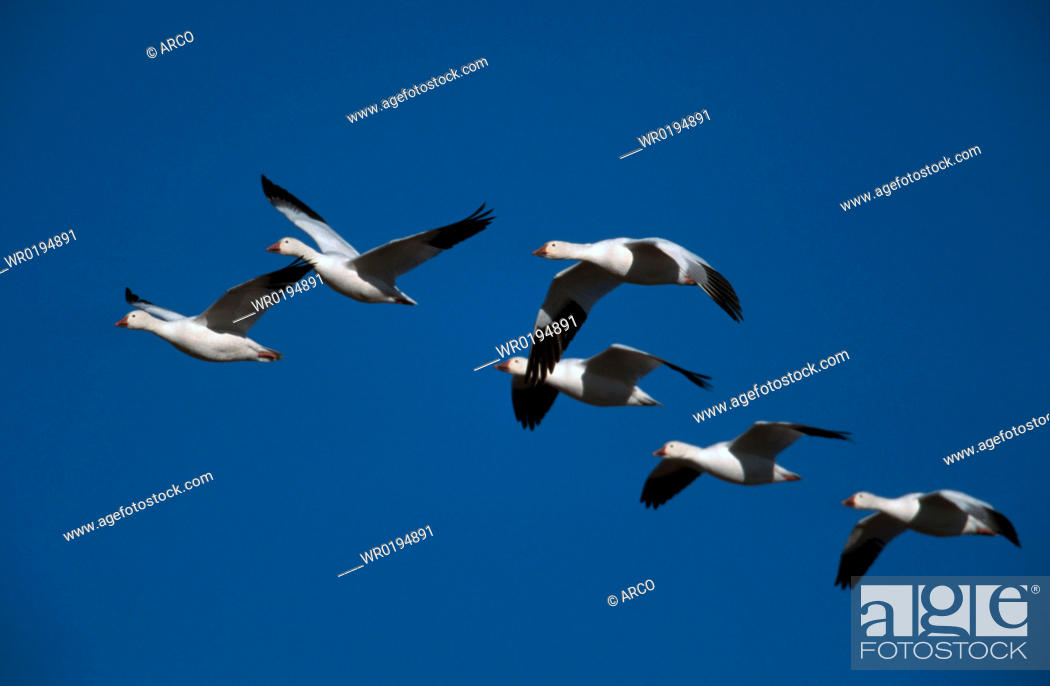 Stock Photo: Snow, Geese, Bosque, del, Apache, New, Mexico, USA, Anser, caerulescens.