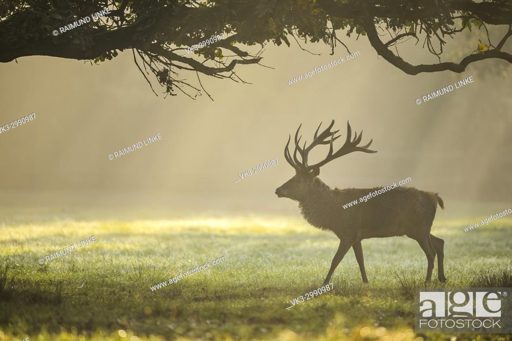 Imagen: Red deer, Cervus elaphus, Male, in Rutting Season with Morning Mist, Europe.