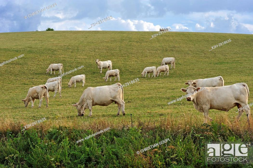 Stock Photo: calf and heifer in pasture, plateau of Combrailles, Puy-de-Dome department, Auvergne-Rhone-Alpes region, France, Europe.