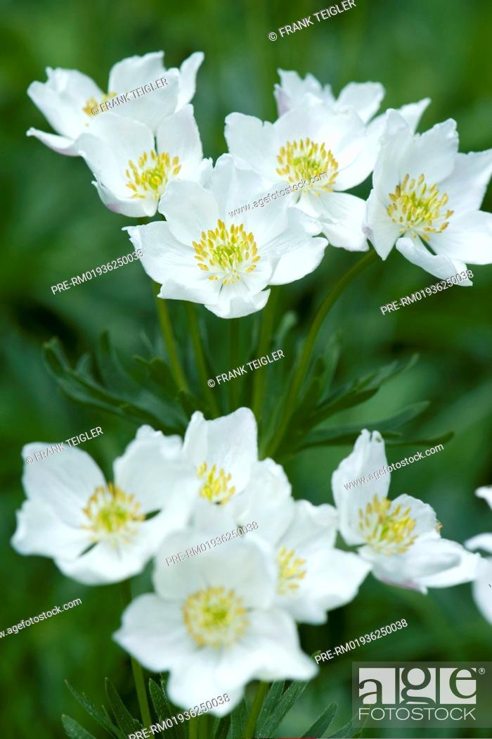 Stock Photo: Narcissus-flowered anemone, Anemone narcissiflora / Narzissen-Windröschen, Anemone narcissiflora.