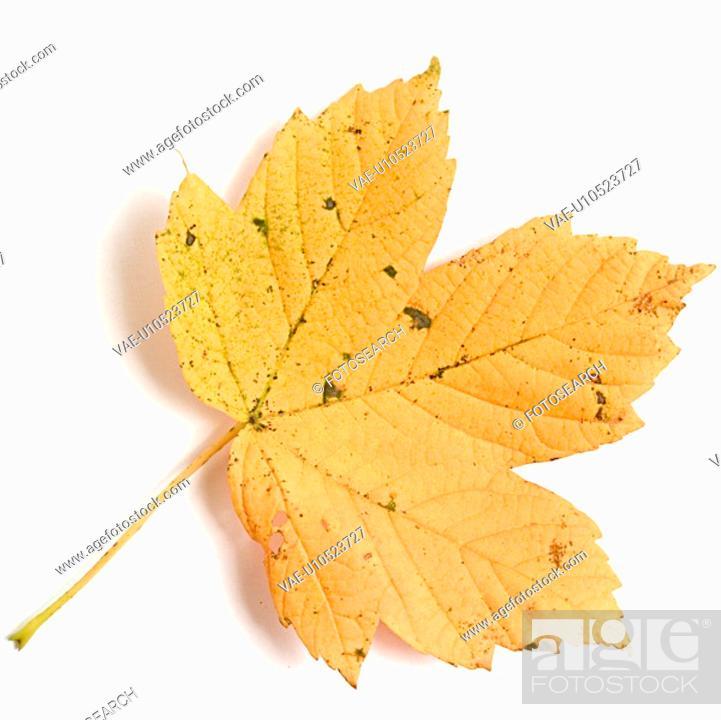 Stock Photo: alfred, close-up, CLOSE, autumn, ahornbaum.