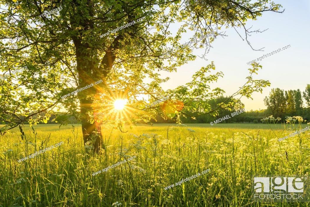 Stock Photo: Apple tree at sunset, Hesse, Germany, Europe.