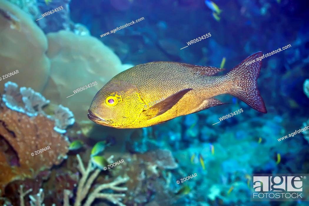 Stock Photo: Tropical fish Snapper.