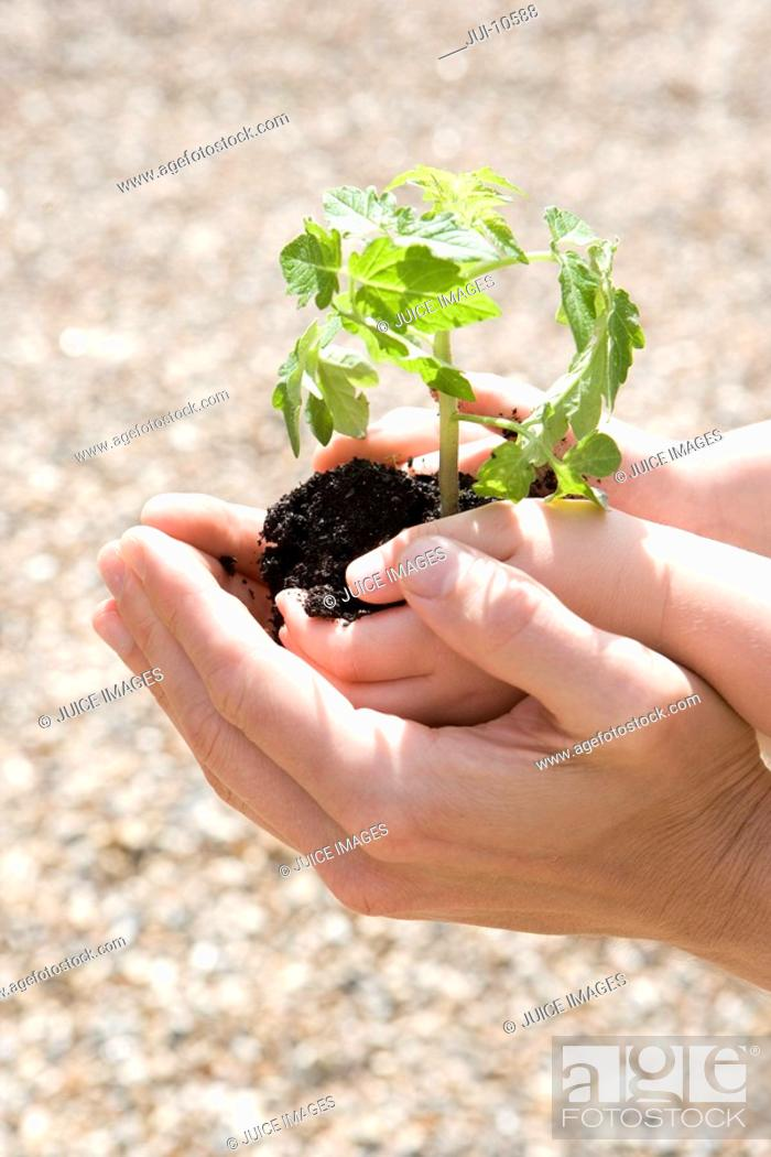 Stock Photo: Father cupping son's 2-4 hands holding plant, close-up of hands.