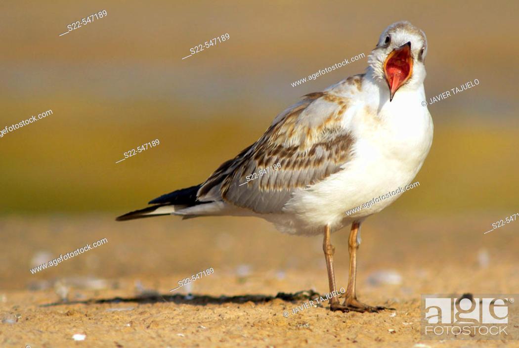 Stock Photo: Black-headed Gull, Larus ridibundus, Marjal del Moro, Comunidad Valenciana. Spain.
