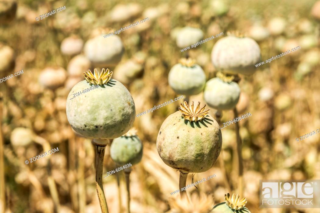 Imagen: Opium poppies, They are watching you.