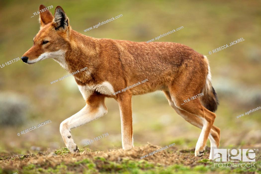 Stock Photo: Ethiopian wolf walking.