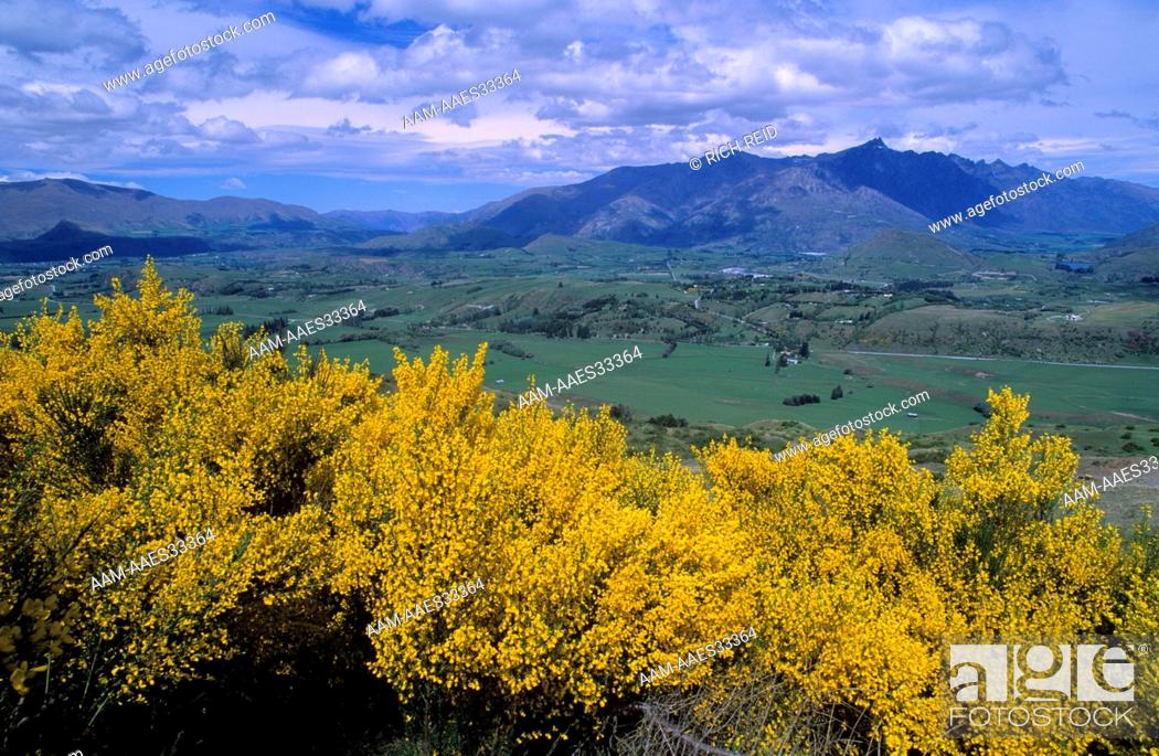 Stock Photo: Yellow Broom (introduced), Dalefield, the Remarkables, Coronet Peak, New Zealand.