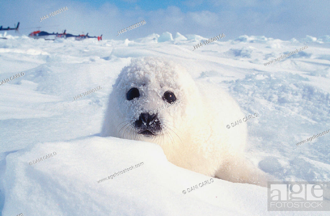Stock Photo: animal, animals, baby seal, Canada, North America, America, Harp Seal, new, Pagophilus groenlandicus, Phoca, Provinc.