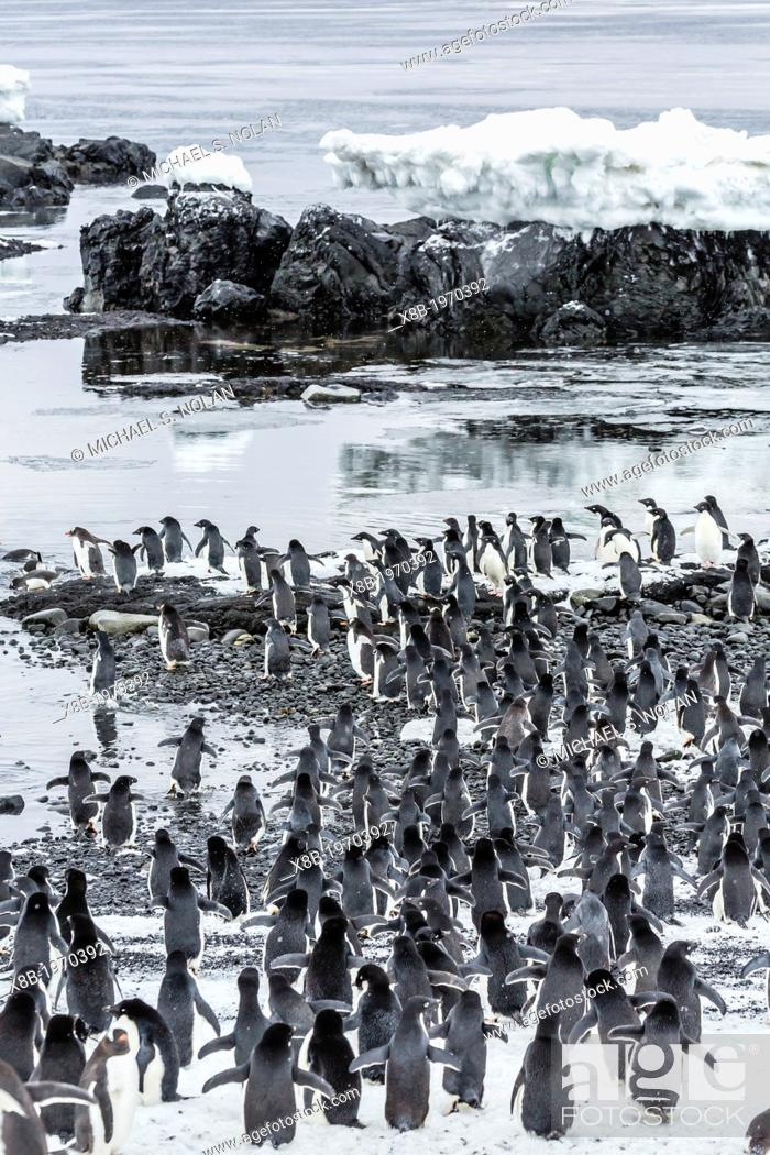Imagen: Adélie penguins Pygoscelis adeliae at breeding colony at Brown Bluff on the eastern side of the Antarctic Peninsula, Antarctica.