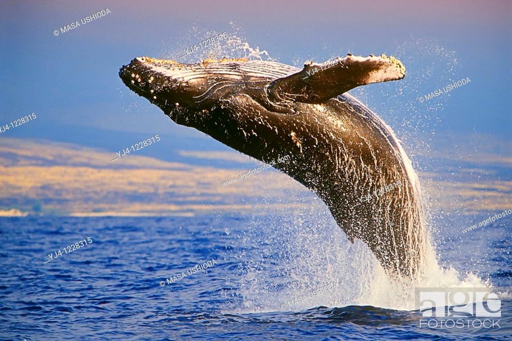 Stock Photo: Humpback Whale, breaching at sunset, Megaptera novaeangliae, Hawaii, Pacific Ocean.