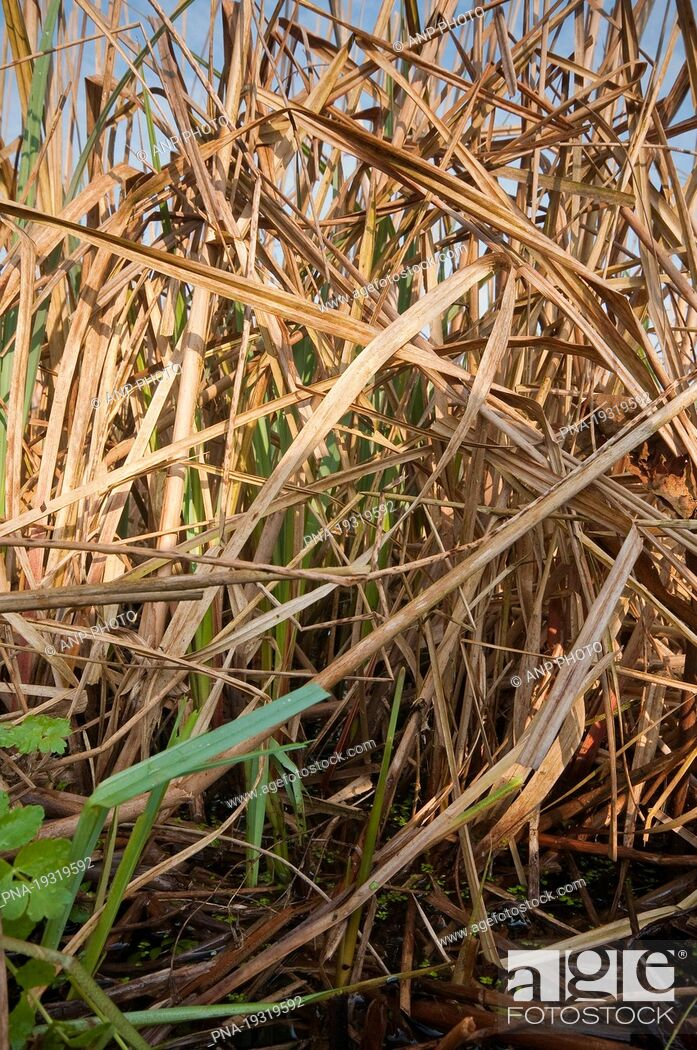 Imagen: Common Reed Phragmites australis - Wormer- en Jisperveld, Zaanstreek en Waterland, North Holland, The Netherlands, Holland, Europe.