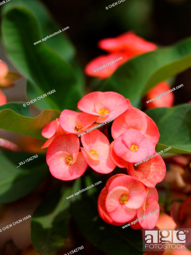 Stock Photo: Red cactus flower.